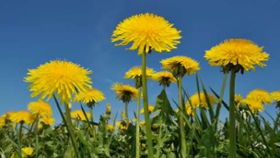What Are the Health Benefits of Eating Dandelion?