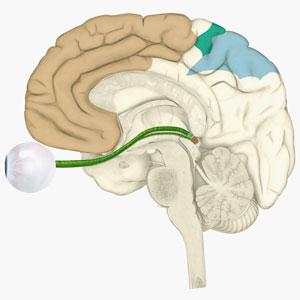 Digital illustration of various areas of cortex in human brain receiving input from sense organs