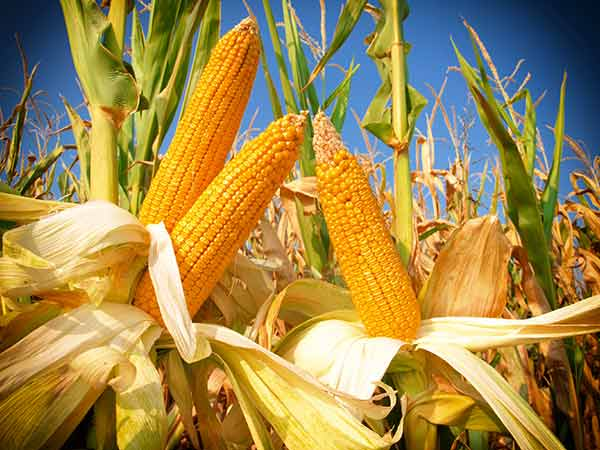 5 Foods You Didn't Know Were Genetically Modified