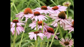 Can Echinacea Boost My Immune System?
