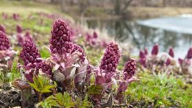 Fight Allergies With Butterbur