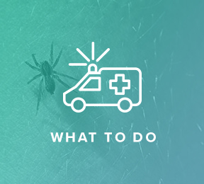 What to Do If You Have a Spider Bite