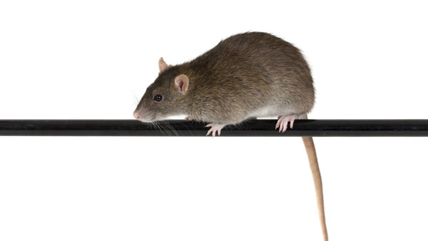 Near Death Experiences in Rats