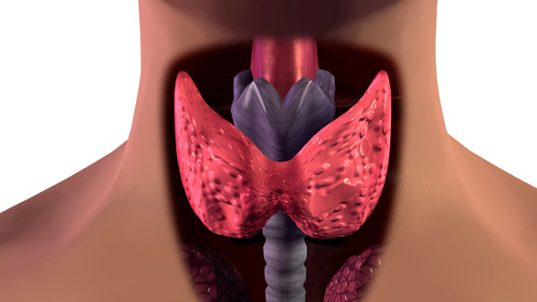 An Overactive Thyroid May Spell Heart Trouble