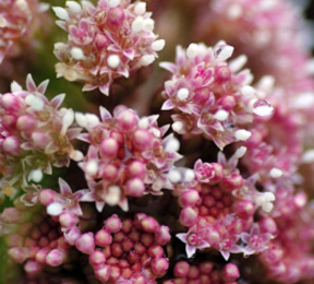 Nasal Congestion? Try Butterbur Extract